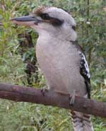 Laughing Kookaburra